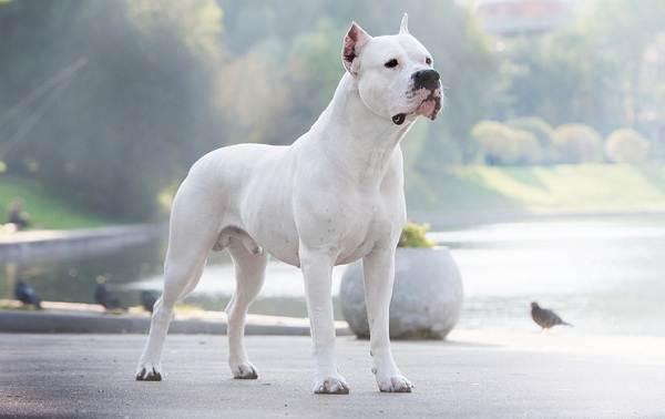 Крупные-породы-собак-Описания-названия-клички-и-особенности-крупных-пород-собак-8