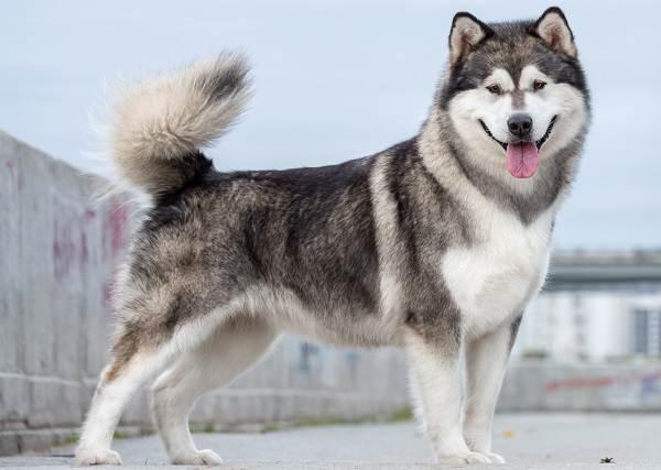 Крупные-породы-собак-Описания-названия-клички-и-особенности-крупных-пород-собак-9