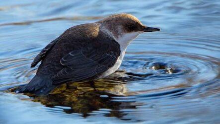 Оляпка птица. Описание, особенности, виды, образ жизни и среда обитания оляпки