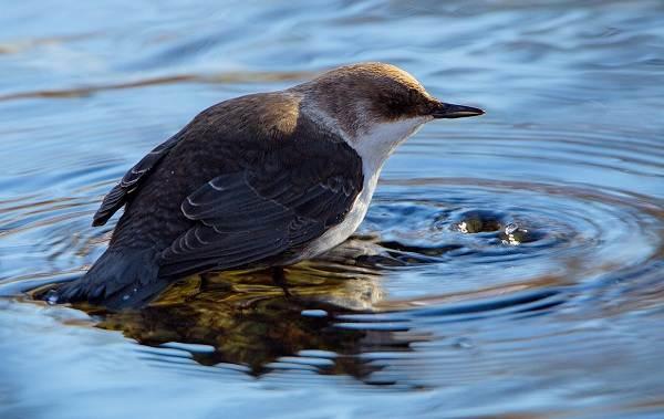 Оляпка-птица-Описание-особенности-виды-образ-жизни-и-среда-обитания-оляпки-1