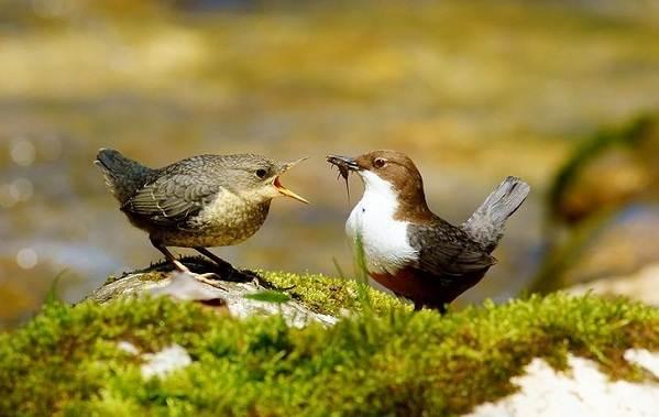 Оляпка-птица-Описание-особенности-виды-образ-жизни-и-среда-обитания-оляпки-10