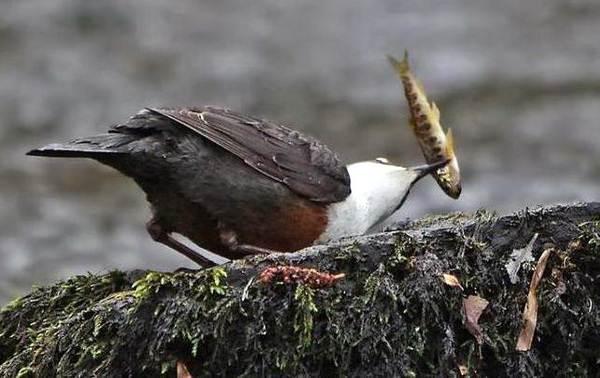 Оляпка-птица-Описание-особенности-виды-образ-жизни-и-среда-обитания-оляпки-11