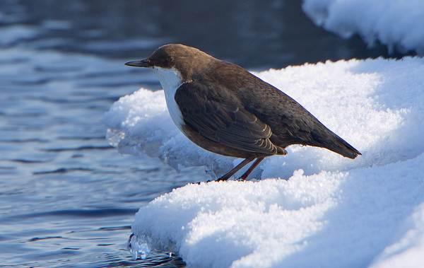 Оляпка-птица-Описание-особенности-виды-образ-жизни-и-среда-обитания-оляпки-2