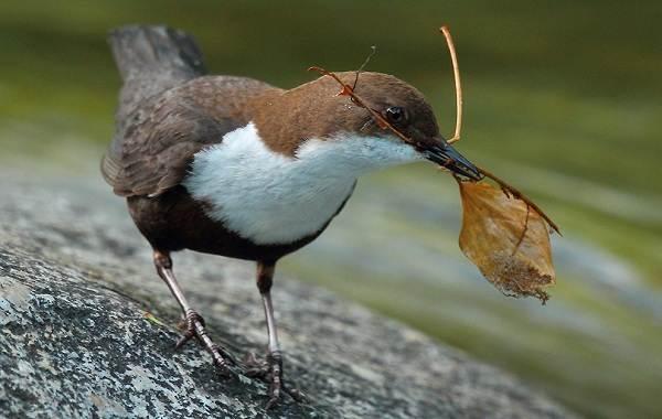 Оляпка-птица-Описание-особенности-виды-образ-жизни-и-среда-обитания-оляпки-3