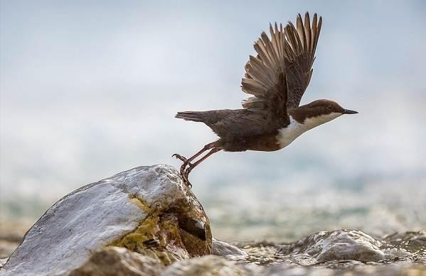 Оляпка-птица-Описание-особенности-виды-образ-жизни-и-среда-обитания-оляпки-4