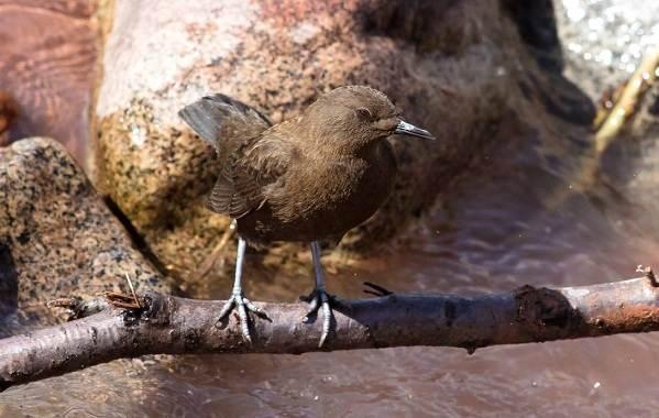 Оляпка-птица-Описание-особенности-виды-образ-жизни-и-среда-обитания-оляпки-6