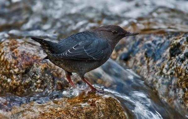 Оляпка-птица-Описание-особенности-виды-образ-жизни-и-среда-обитания-оляпки-7