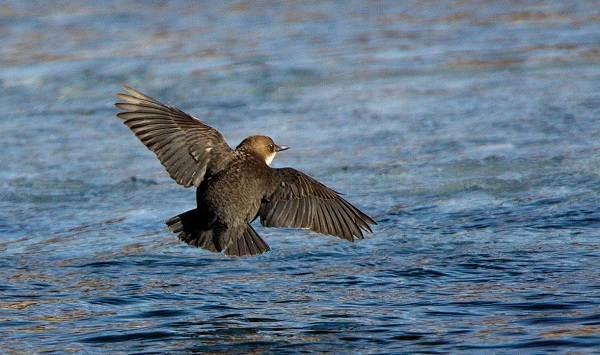 Оляпка-птица-Описание-особенности-виды-образ-жизни-и-среда-обитания-оляпки-9