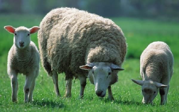 Овца-животное-Описание-особенности-виды-образ-жизни-и-среда-обитания-овцы-1