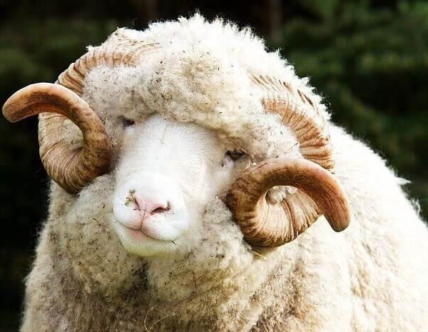 Овца-животное-Описание-особенности-виды-образ-жизни-и-среда-обитания-овцы-2