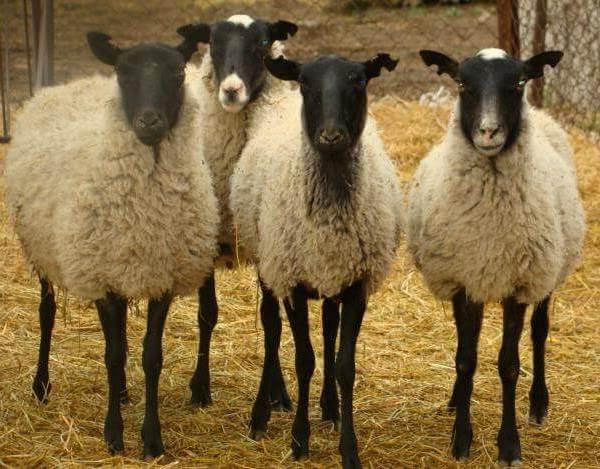Овца-животное-Описание-особенности-виды-образ-жизни-и-среда-обитания-овцы-3