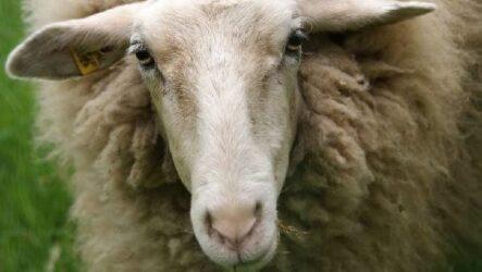 Овца животное. Описание, особенности, виды, образ жизни и среда обитания овцы