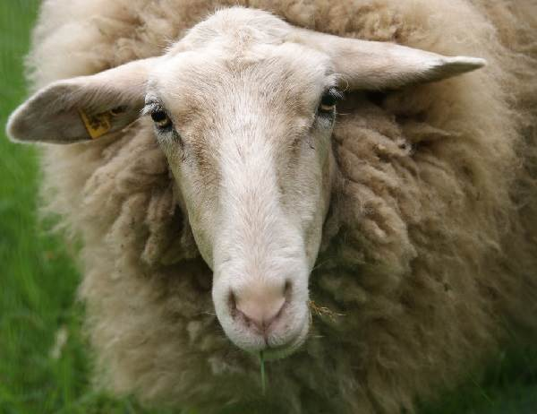 Овца-животное-Описание-особенности-виды-образ-жизни-и-среда-обитания-овцы-5