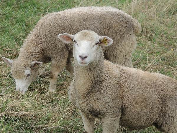 Овца-животное-Описание-особенности-виды-образ-жизни-и-среда-обитания-овцы-6