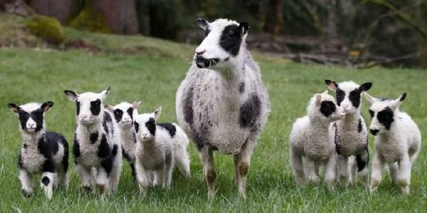 Овца-животное-Описание-особенности-виды-образ-жизни-и-среда-обитания-овцы-7