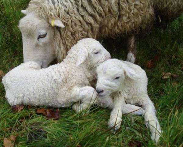 Овца-животное-Описание-особенности-виды-образ-жизни-и-среда-обитания-овцы-8