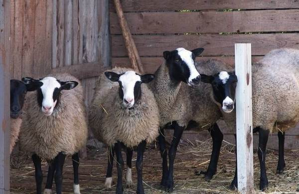 Овца-животное-Описание-особенности-виды-образ-жизни-и-среда-обитания-овцы-9