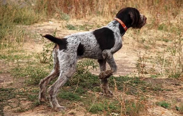Охотничьи-породы-собак-Описания-названия-и-виды-охотничьих-собак-10