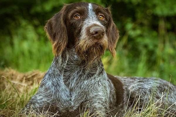 Охотничьи-породы-собак-Описания-названия-и-виды-охотничьих-собак-11