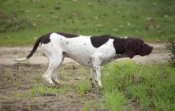 Охотничьи-породы-собак-Описания-названия-и-виды-охотничьих-собак-12