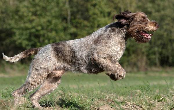 Охотничьи-породы-собак-Описания-названия-и-виды-охотничьих-собак-14