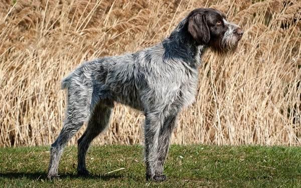 Охотничьи-породы-собак-Описания-названия-и-виды-охотничьих-собак-16