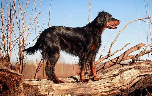 Охотничьи-породы-собак-Описания-названия-и-виды-охотничьих-собак-17