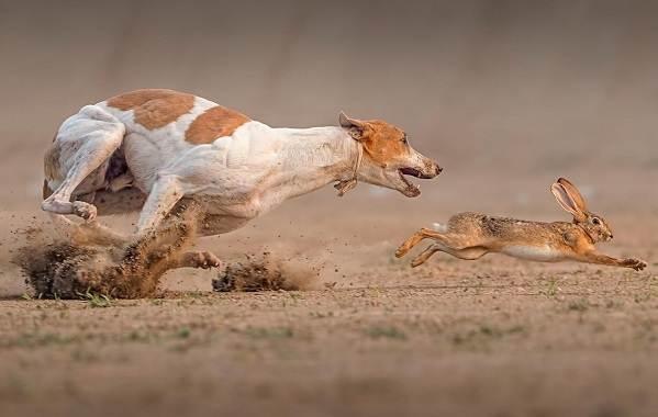 Охотничьи-породы-собак-Описания-названия-и-виды-охотничьих-собак-18