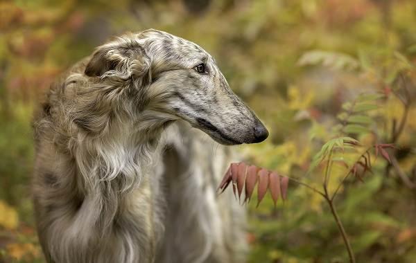 Охотничьи-породы-собак-Описания-названия-и-виды-охотничьих-собак-22