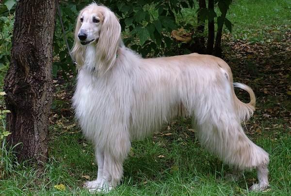 Охотничьи-породы-собак-Описания-названия-и-виды-охотничьих-собак-23