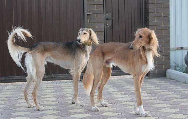 Охотничьи-породы-собак-Описания-названия-и-виды-охотничьих-собак-24
