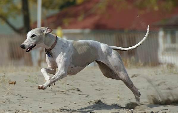Охотничьи-породы-собак-Описания-названия-и-виды-охотничьих-собак-26