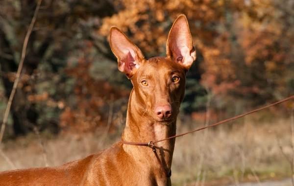Охотничьи-породы-собак-Описания-названия-и-виды-охотничьих-собак-27