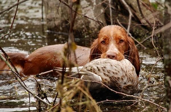 Охотничьи-породы-собак-Описания-названия-и-виды-охотничьих-собак-29