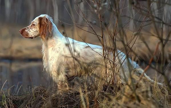 Охотничьи-породы-собак-Описания-названия-и-виды-охотничьих-собак-3