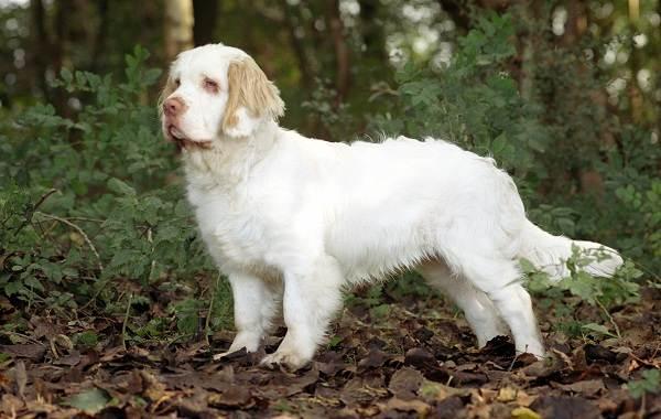 Охотничьи-породы-собак-Описания-названия-и-виды-охотничьих-собак-31