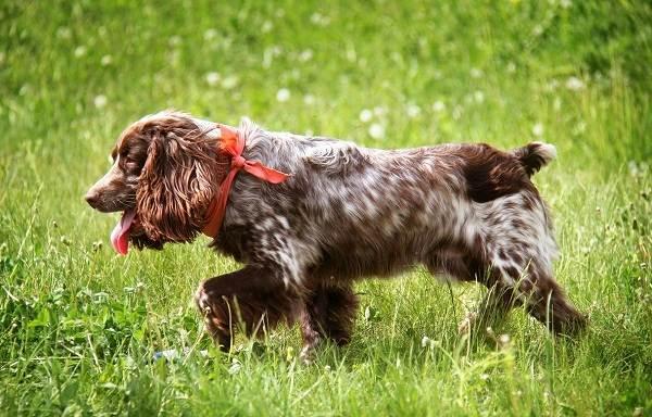 Охотничьи-породы-собак-Описания-названия-и-виды-охотничьих-собак-33
