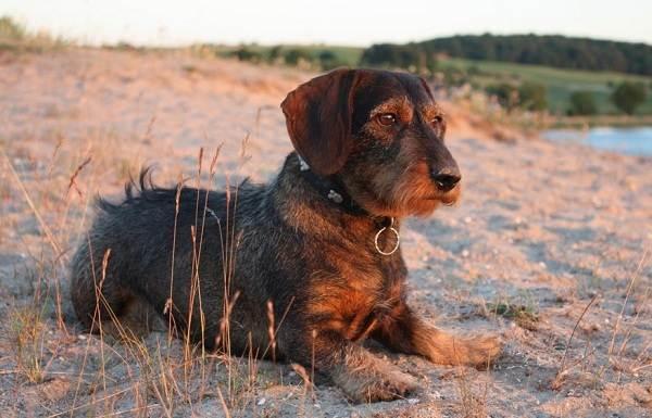 Охотничьи-породы-собак-Описания-названия-и-виды-охотничьих-собак-34