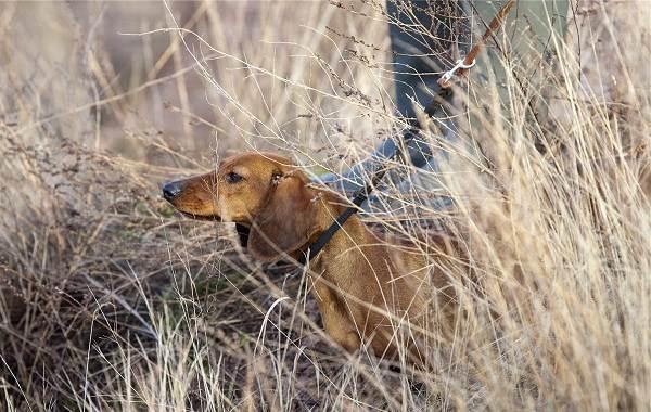 Охотничьи-породы-собак-Описания-названия-и-виды-охотничьих-собак-35