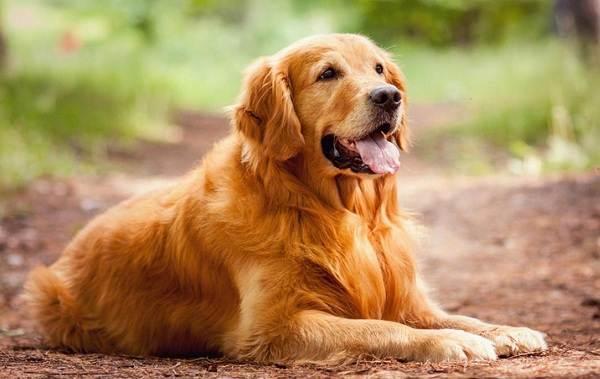Охотничьи-породы-собак-Описания-названия-и-виды-охотничьих-собак-39