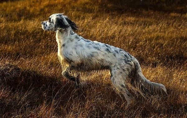 Охотничьи-породы-собак-Описания-названия-и-виды-охотничьих-собак-4