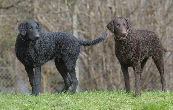 Охотничьи-породы-собак-Описания-названия-и-виды-охотничьих-собак-40