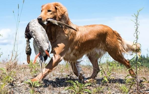 Охотничьи-породы-собак-Описания-названия-и-виды-охотничьих-собак-41