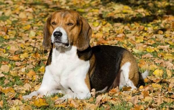Охотничьи-породы-собак-Описания-названия-и-виды-охотничьих-собак-42