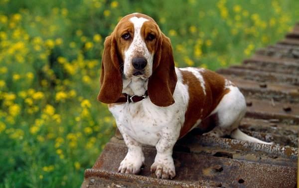 Охотничьи-породы-собак-Описания-названия-и-виды-охотничьих-собак-44