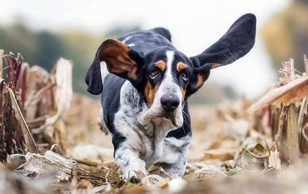 Охотничьи-породы-собак-Описания-названия-и-виды-охотничьих-собак-45