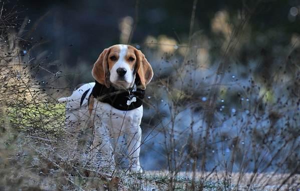 Охотничьи-породы-собак-Описания-названия-и-виды-охотничьих-собак-46