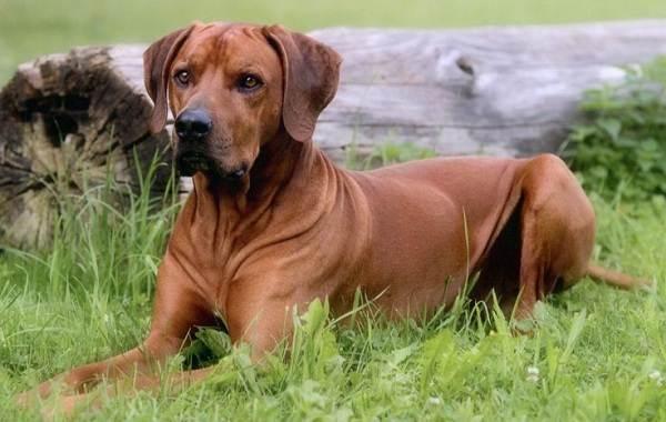 Охотничьи-породы-собак-Описания-названия-и-виды-охотничьих-собак-48