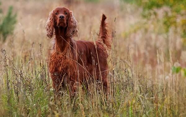 Охотничьи-породы-собак-Описания-названия-и-виды-охотничьих-собак-5