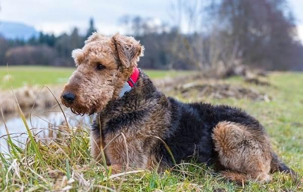 Охотничьи-породы-собак-Описания-названия-и-виды-охотничьих-собак-52